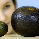 Гигантские авокадо