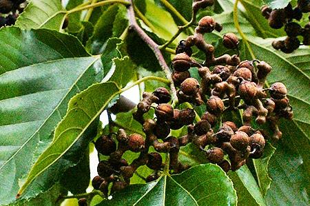 Изюмное дерево
