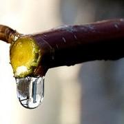 Берёзовый сок отличное средство для похудения