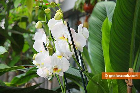 Красавицы Орхидеи