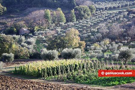 Грядки с овощами и оливковые деревья