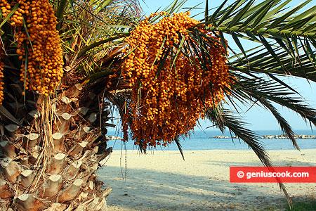 Пальма с дикими финиками