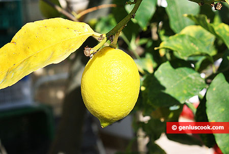 Лимон крупным планом