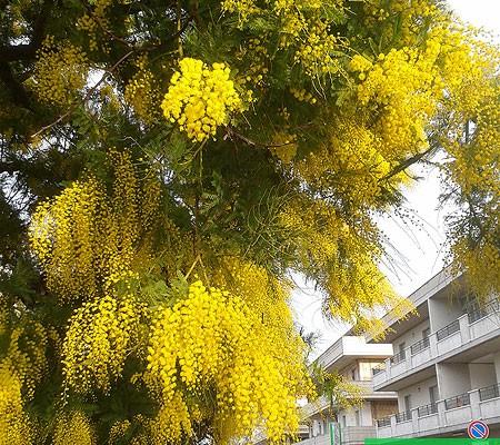 Цветущая мимоза на улице нашего городка