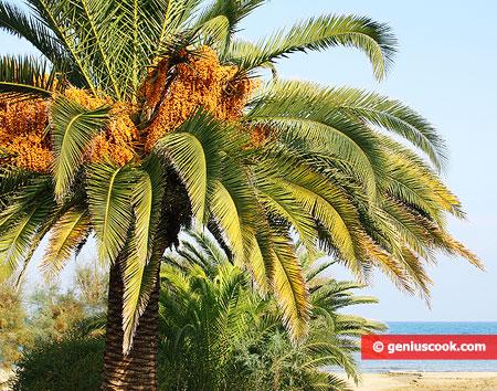 Пальма с финиками на фоне моря