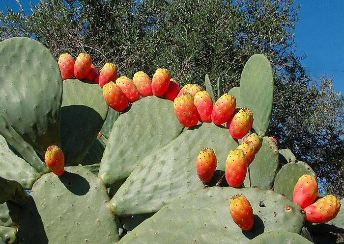 Опунция индийская, Fico d'India, prickly pear